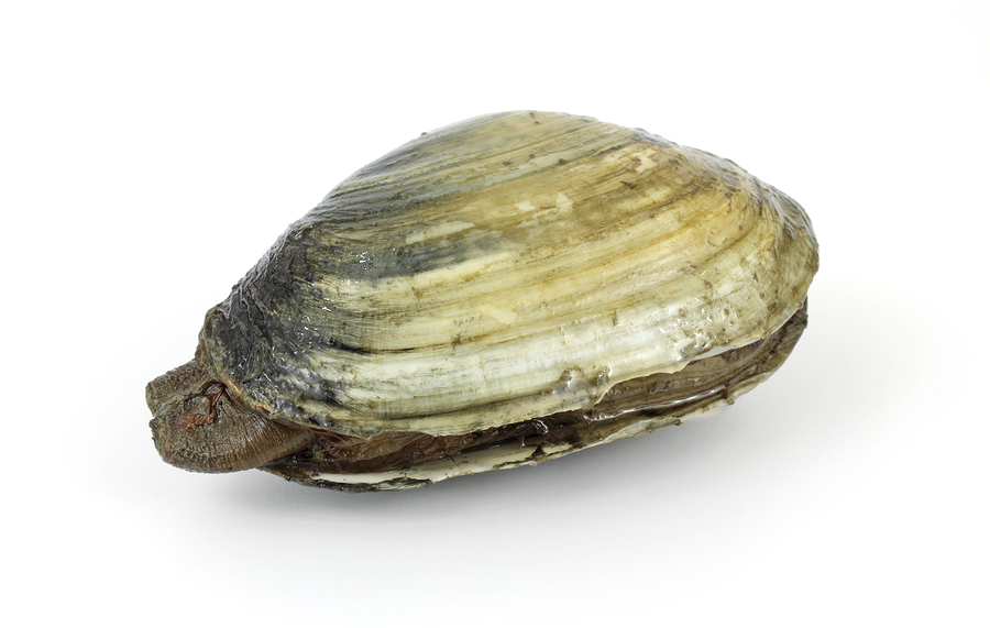 Red tide soft-shell clam Bigstock