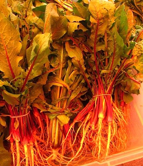 Red Dandelion leaves