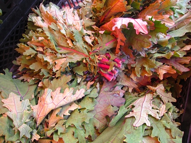 Leaves of Red Russian Kale