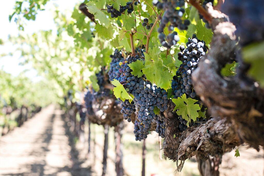 grapes-1952073_1280_jill111_pixabay