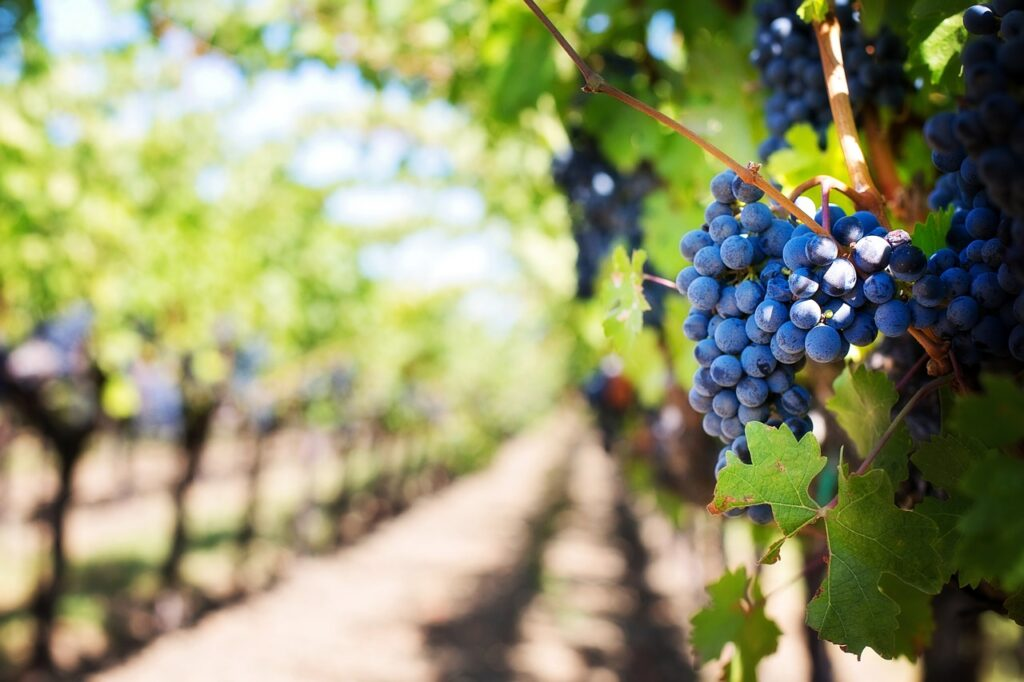 purple-grapes-553463_1280_pixabay_jill111