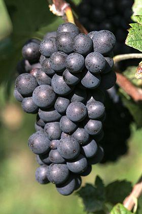 pinot-meunier-grapes