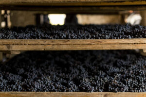 CLOSEUP OF DRYING GRAPES ON WOODEN RACKS- MASI - appassimento