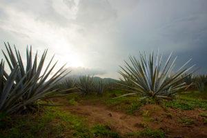 Tequila, Terroir, Agave_Fields - Wine4Food