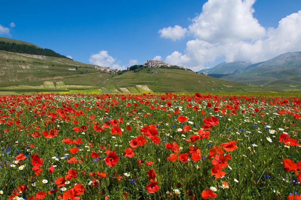 Flowering lentil fields outside Castelluccio
