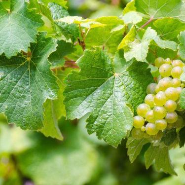 riesling-grape