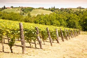 Vineyard in Italy's Piedmont Region