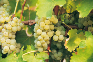 Loire Valley Sauvignon Blanc Grapes