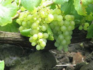 Verdejo_Grapes_Vine