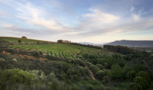 backsberg-estate-cellars-south-africa-trek-block-morning rosé vineyard - Wine4Food