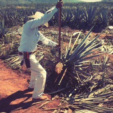tequila, agave pina harvest, coa tool - Wine4Food