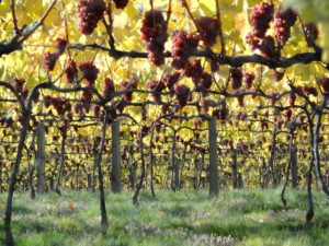 New Zealand Wine 101, Grapes Mishas Vineyard, Central Otago - Wine4Food